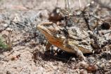 Short-horned lizards are well designed to blend in with their environment, the Pinyon-Juniper Woodland.