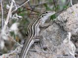 A whiptail lizard lounges on a rock near the Main Loop Trail.