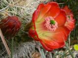 Claretcup cactus blooms with bright red flowers in late spring, early summer.