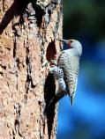 A male Northern Flicker excavates a hole in a Ponderosa Pine tree. Unfortunately the tree was blown down by wind before nesting was completed.