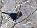 A brillant blue Steller's Jay sits in a tree near the visitor center.