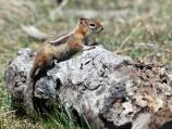 A Golden-mantled Groundsquirrel sits on a log sunning itself.