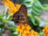 A Great Spangled Fritilary enjoys a brief stay at a blooming butterflyweed.