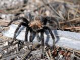 Male tarantulas are often seen in the autumn when they must leave their burrows to seek a mate.