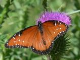 Queen butterflies look a lot like Monarchs and are closely related.