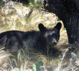 Black Bear on the Pinnacles Trail