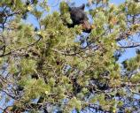 Black Bear in the Pines