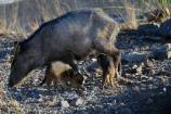 Javelina and young