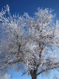 Cottonwood tree covered with frost in late December at North District of Bighorn Canyon NRA