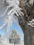 Frost covered cottonwood and pine
