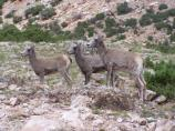 Three young Bighorn's