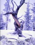 Snow covered Bristlecone Pine Tree