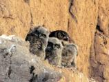 Great Horned Owl mom and her triplet of fuzzy babies in 2012