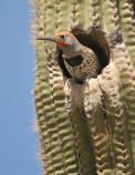 Flicker looking out from its saguaro home.
