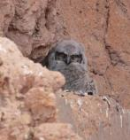 One fuzzy Great Horned Owl baby photographed by park visitor.