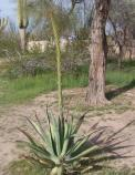 The mature agave plant is sending up a tall shoot in its center in preparation for blooming.