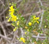Bright yellow flowers contrast with the small green leaves of the creosote bush