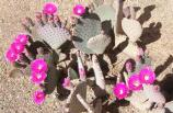 multiple flowers all a shocking pink color match the slightly pink/purple pads of this prickly pear cactus