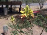 bright yellow blooms with red tongue-like centers surprise visitors