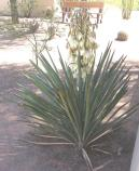 the taller stalk of the yucca bloom with its white flowers about doubles the height of the yucca plant