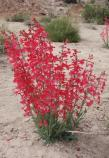Utah Penstemon