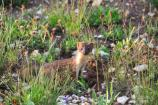 Long-tailed Weasel standing in a green meadow.