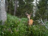 Mule Deer doe standing in green meadow with trees and wildflowers.