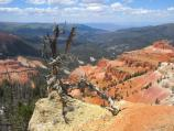 Tree Skeleton clinging to the rim of Cedar Breaks Amphitheater.