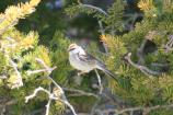 Chipping Sparrow bird perched on a branch.