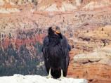 California Condor perched on the rim of the Cedar Breaks Amphitheater.