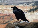 Common Raven perching on the rim of the Cedar Breaks Amphitheater.