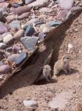 SC Spotted Ground Squirrels