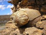 Volutomorpha Gastropod Steinkern in Cliffhouse Sandstone.