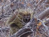 Photo of a porcupine. Scientific name: Erithizon dorsatum.