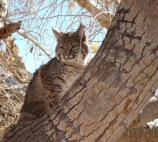Photo of bobcat in cottonwood tree. Scientific name: Lynx rufus.