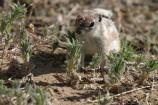 Antelope Ground Squirrel. Scientific name: Ammospermophilius leucurus