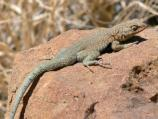 Side Blotched Lizard. Scientific name: Uta stanasburiana.
