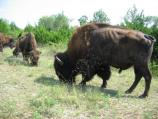 Members of the park's bison herd, kept in the Bison Pasture.