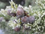 Frosted juniper berries