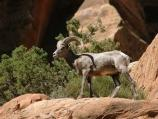 A male bighorn sheep's horns grow longer each year and can be used to determine age.