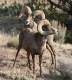 Bighorn sheep were once on the edge of extinction here. A reintroduction happened in Colorado National Monument in the 1980s.
