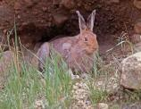 The desert cottontail cannot tolerate the heat of the day and will occupy abandoned badger or coyote burrows or rest under vegetation.