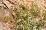 A Colorado Plateau endemic, this perennial stands up to 3 feet tall and has stems with sticky hairs.