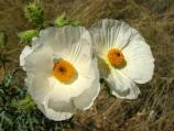 Bluestem prickly poppy