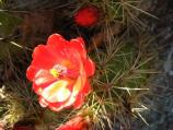 close-up of Claret-cup hedgehog cactus bloom