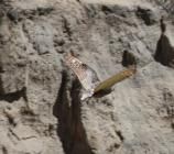 Owl flies in front of a cliff face