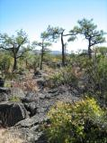 Stunted trees grow in the lava, and some may be centuries old.