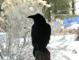 Visitors to El Morro National Monument will surely see some of the resident ravens.
