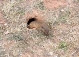 Normally shy, it is more common to see a pocket gopher's tunnel than the pocket gopher itself.