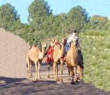 Doug Baum and his Camel Corp at Fort Davis during the Sesquecentenniel Celebration in October 2004.